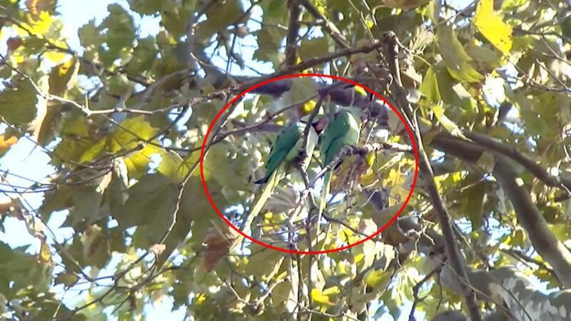 Yeşil papağanlar giderek çoğalıyor ve kuşların yem ile yuvalarına ortak oluyorlar