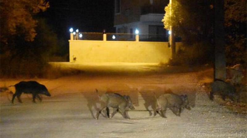 Antalya'da Demre ilçe merkezine domuzlar indi