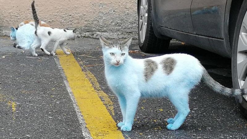 Küçükçekmece'de mavi kediler görenleri şaşkına çevirdi