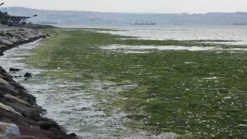 Karşıyaka'da sahili yosunlar bastı