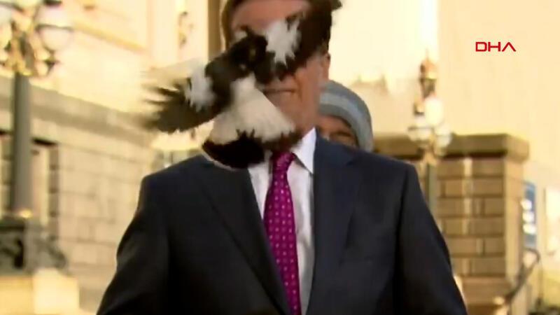 Avustralyalı muhabirin suratına yayın sırasında kuş çarptı