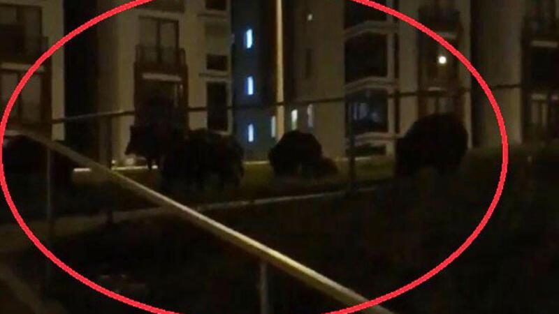 Bursa'da domuz sürüsü paniğe neden oldu