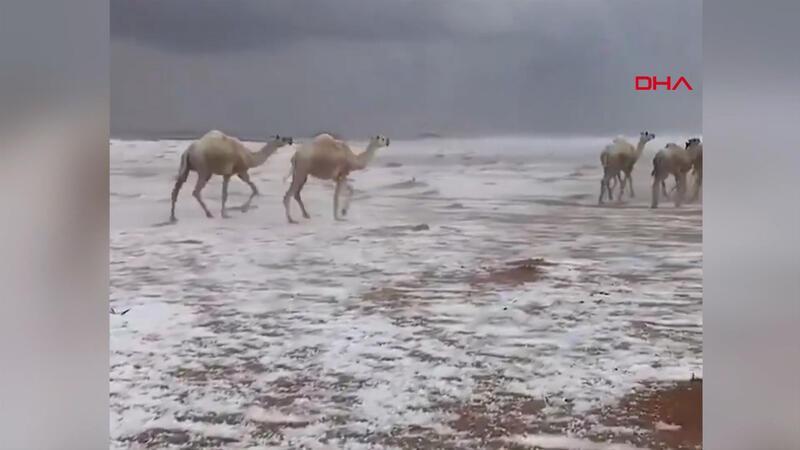 Suudi Arabistan'da karla kaplı çölde develerin yürüyüşü izlenme rekorları kırdı