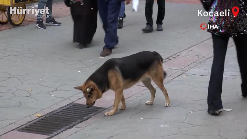 Kocaeli'de sürekli mazgalı izleyen köpeğin sırrı ortaya çıktı