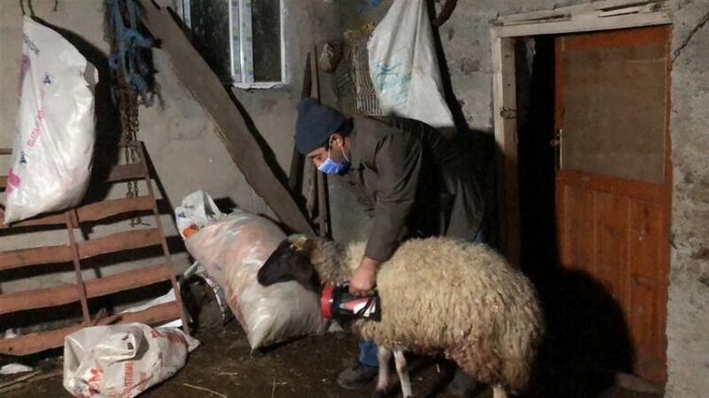 Kurtlar sürüye saldırıdı: 35 koyun öldü