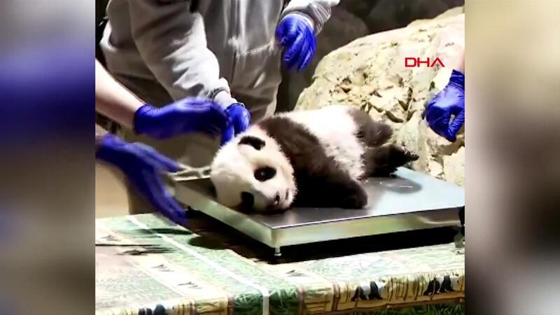 Sağlık kontrolü olan küçük pandanın görüntüleri paylaşım rekoru kırdı