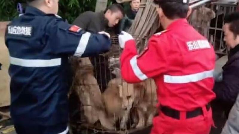 Çin'de mezbahada öldürülerek 'sosis' yapılması planlanan 40 köpek bulundu