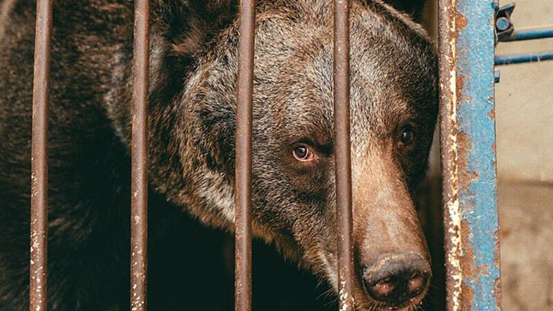 Dünyanın en yalnız ayısı Jambolina Ukrayna'dan İsviçre'ye götürüldü