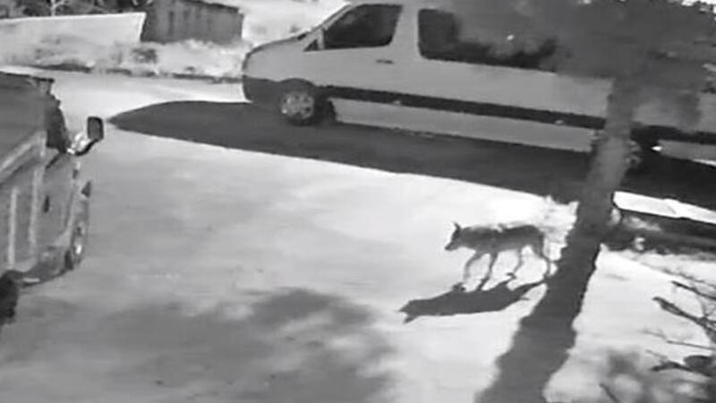 Aç kalan kurtlar mahalleye indi