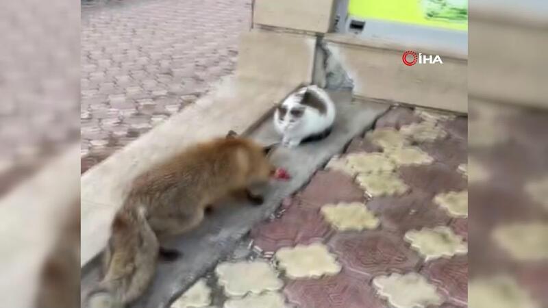 Yiyecek bulamayınca kent merkezine inen tilkiyi kedilerle birlikte beslediler