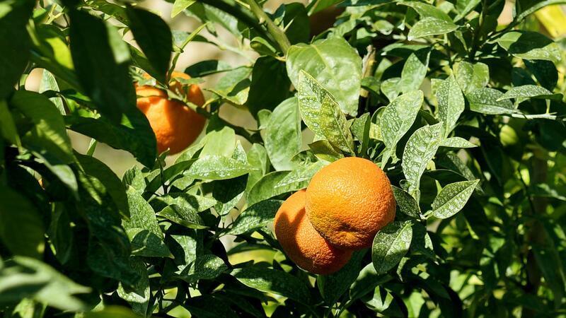 Muratpaşa'da parklara dikilen turunç ağaçlarının meyveleri reçel oluyor