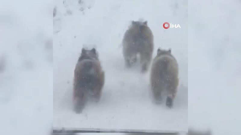 Kış uykusundan uyanan ayı ve yavruları şaşkına çevirdi