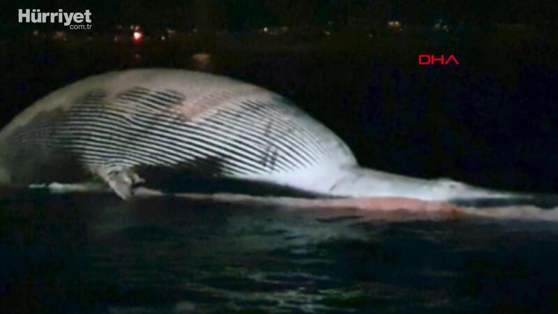 Tam 70 ton... Dev balina görenleri şaşırttı
