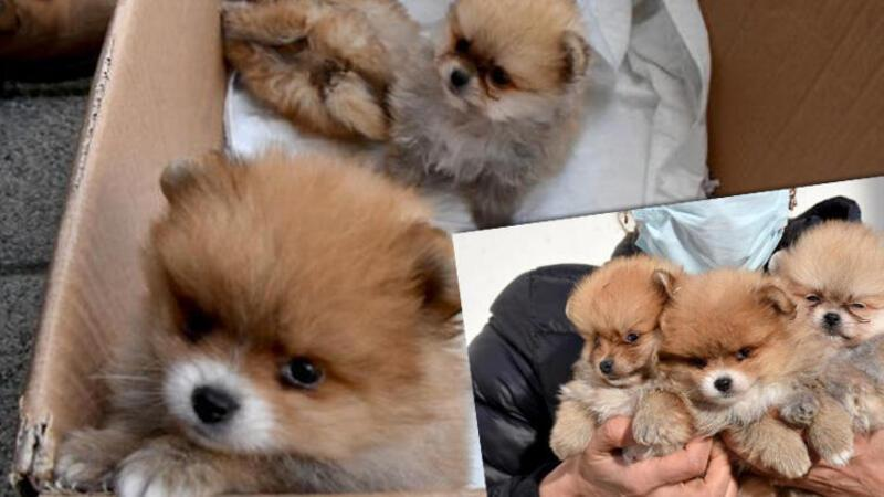 Yavru köpekleri uyuşturup, kaçak olarak Türkiye'ye getirdiler