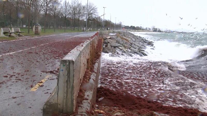 Caddebostan Sahili'ni kırmızı yosunlar sardı