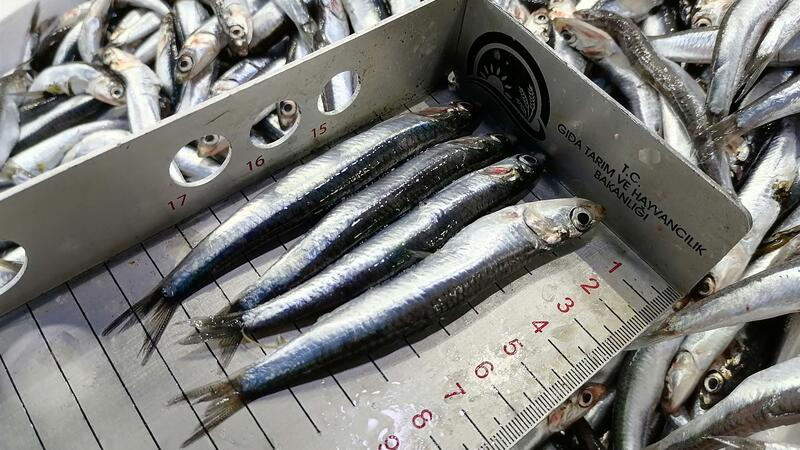 Tezgahlarda balık boyları denetlendi, balıkçılar hamsi yasağına destek verdi