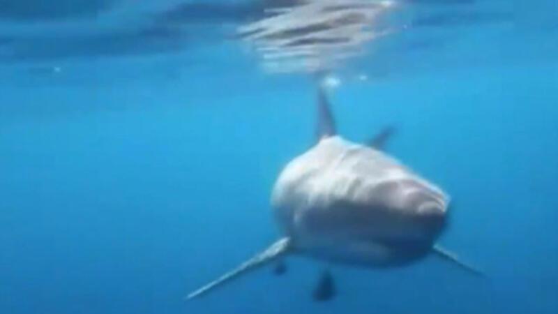 ABD'de dev köpekbalığı balık tutanlara böyle saldırdı