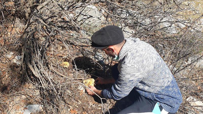Çam mantarı kilosu 40 TL'ye satılıyor