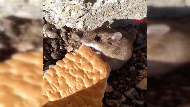 Sosyal medyada büyük ilgi gördü... Bahçesindeki fareyi bisküvi ile besliyor