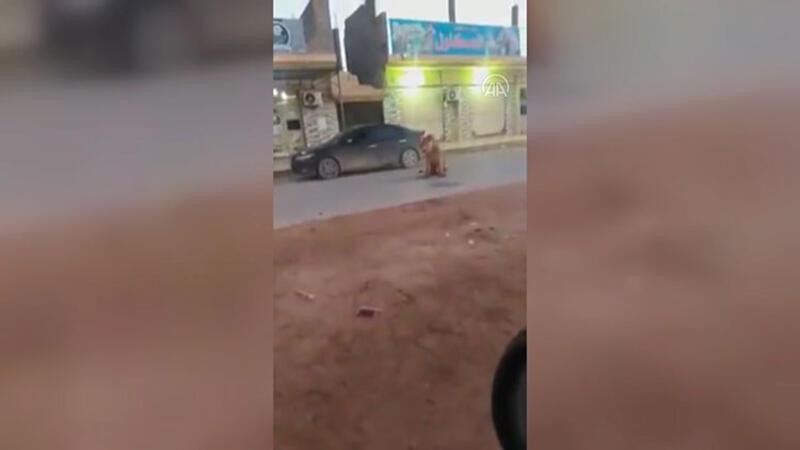 Cadde ortasında başıboş gezen bir aslan görenleri şaşırttı
