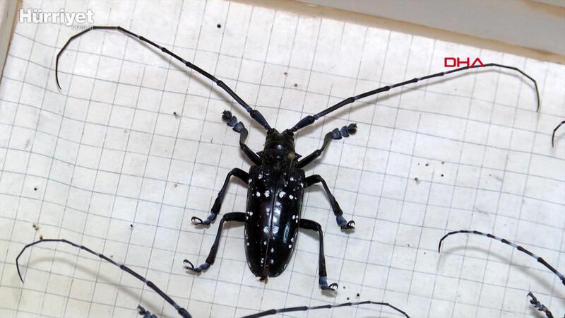 İstanbul'un ağaçlarında teke böceği tehlikesi