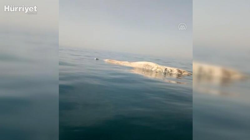 İskenderun Körfezi'nde amatör balıkçıların kamerasına ölü balina yansıdı