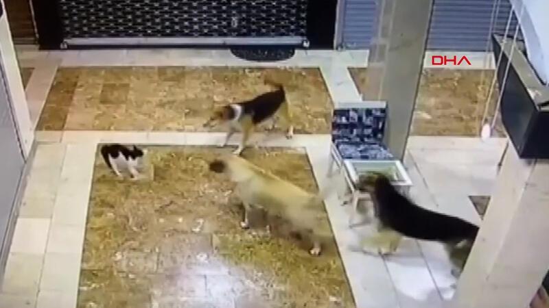 Anne kedi yavrusunu korumak için köpekleri böyle kovaladı