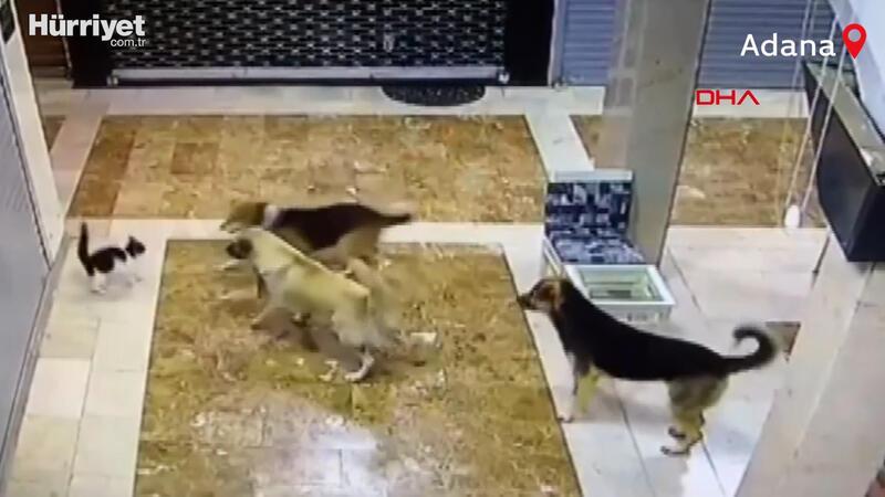 Anne kedi, yavrusunu kurtarmak için 3 sokak köpeğini kovaladı