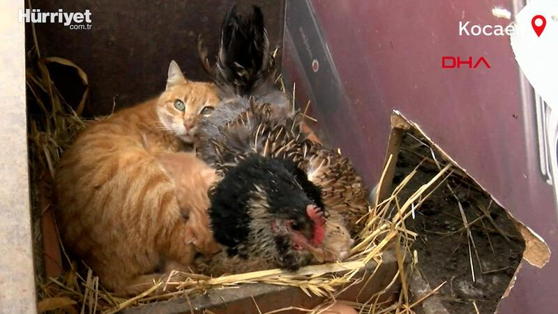 Tavuk yavru kedileri kanatlarının altına alıp koruyor