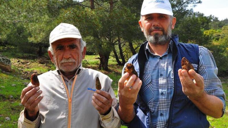 Kuzugöbeği mantarının kilosu 200 liradan alıcı buluyor
