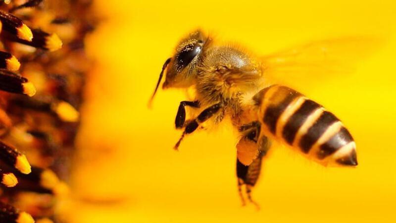 Hollanda'da arıların virüsü tespiti ile ilgili dikkat çeken araştırma