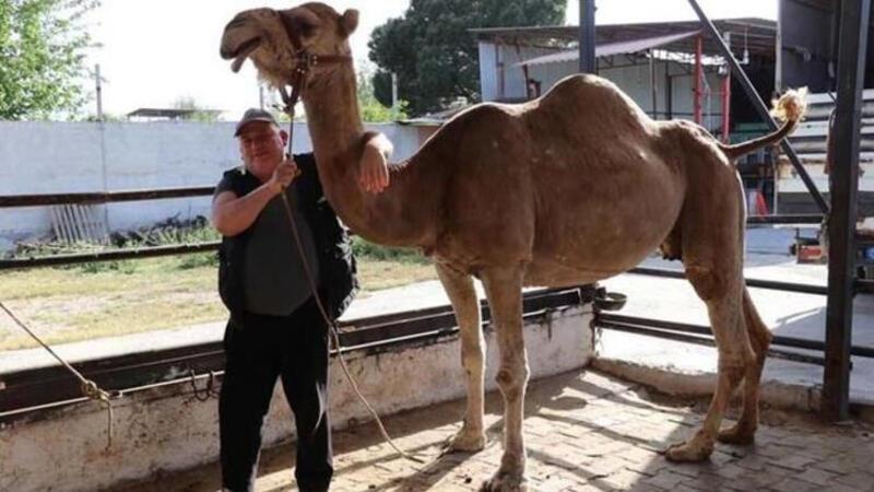 Koronavirüs döneminde, deve sütüne talep patlaması
