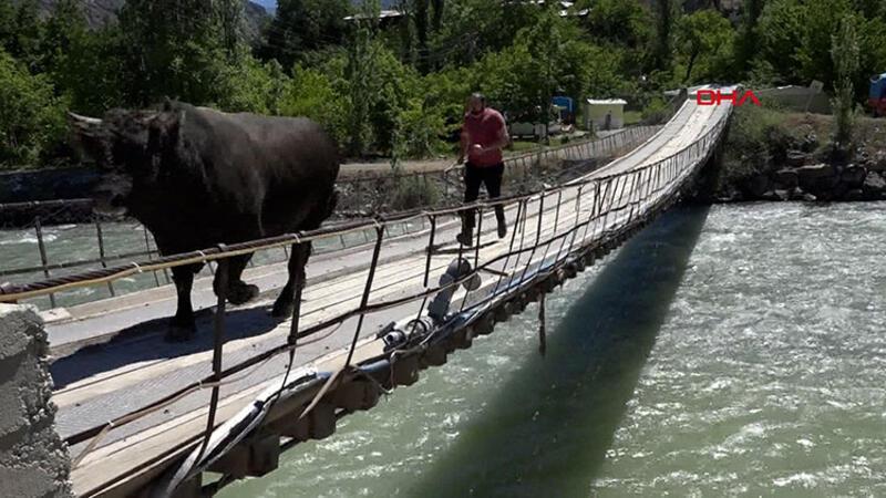 Güreşlere tehlikeli hazırlık; Boğasını ahşap köprüden koşarak geçiriyor