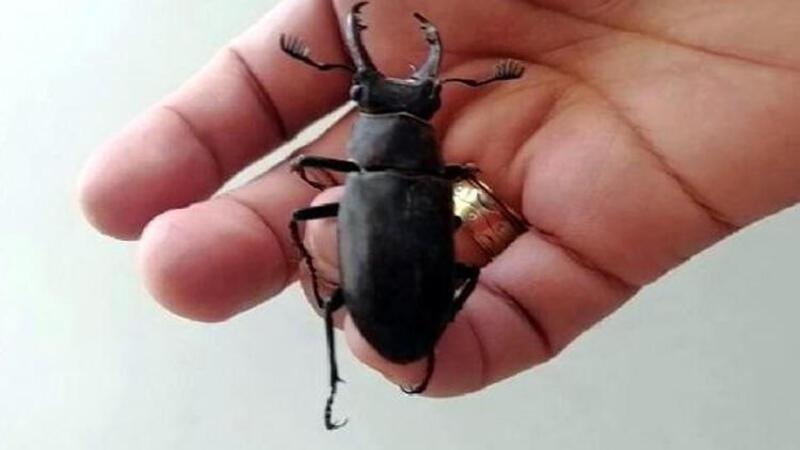 Nesli koruma altında bulunan 'geyik böceği' Bodrum'da görüldü