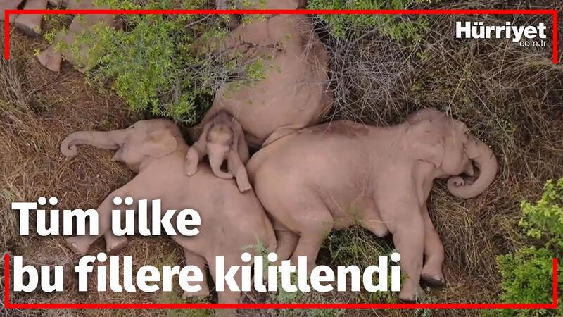 Tüm ülke bu fillere kilitlendi