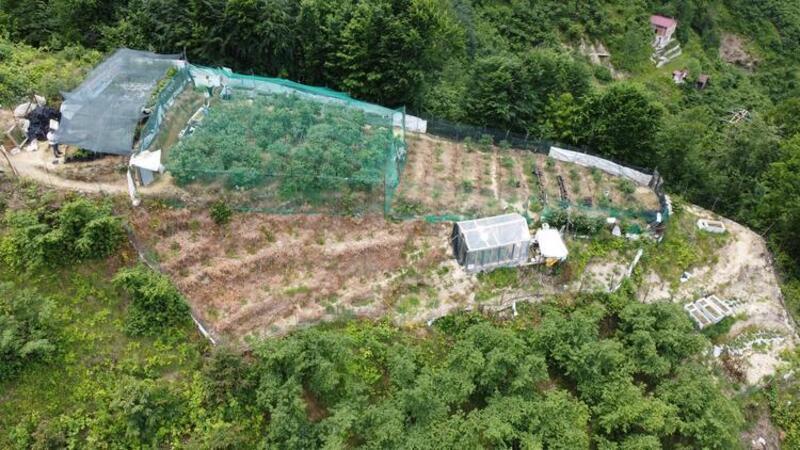 Trabzon'da yaban mersini ekti, yıllık 100 bin TL kazanıyor