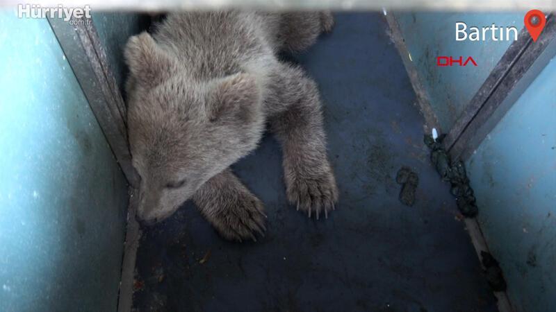 Köpeklerin saldırdığı yavru ayı kurtarıldı