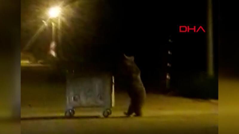 Yiyecek arayan ayı, çöp konteynerini sürükleyip devirdi