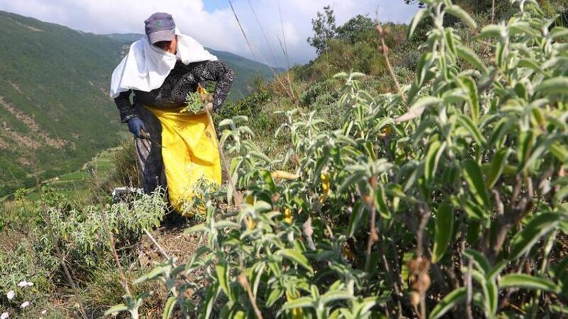 Tekirdağ'ın Ganos Dağı eteklerinden toplanan ada çayı 7 ülkeye ihraç ediliyor