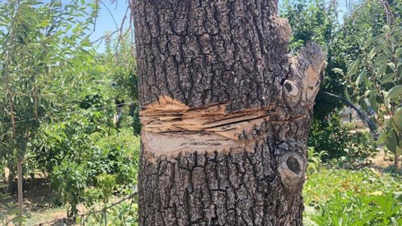 Ağaç budarken taşlama makinesi elinden kayıp boğazını kesti