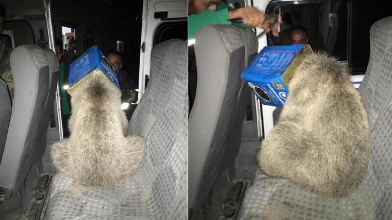 Kafası kutuya sıkışan yavru ayıyı, itfaiye kurtardı