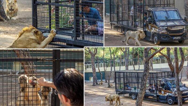 Antalya'da telli kamyonetle 'aslan safarisi'ne tepki