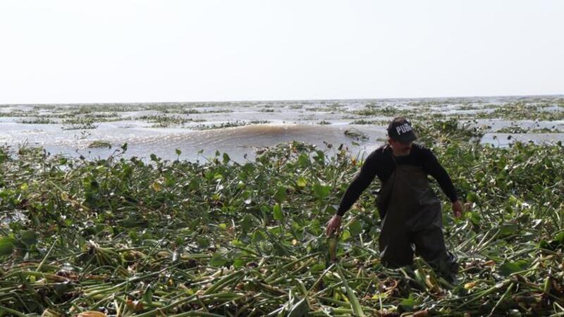 Asi Nehri'nin taşmasıyla Akdeniz'e dökülen su sümbülleri Samandağ sahilini kapladı