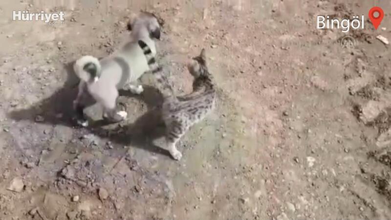 Yavru kedi ve köpeğin dostluğu görenleri şaşırtıyor