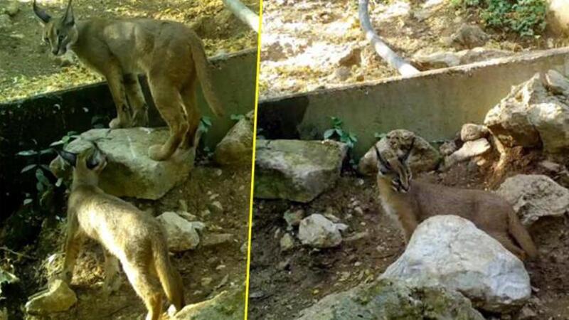 'Ormanın hayalet kedisi' Antalya'da görüntülendi