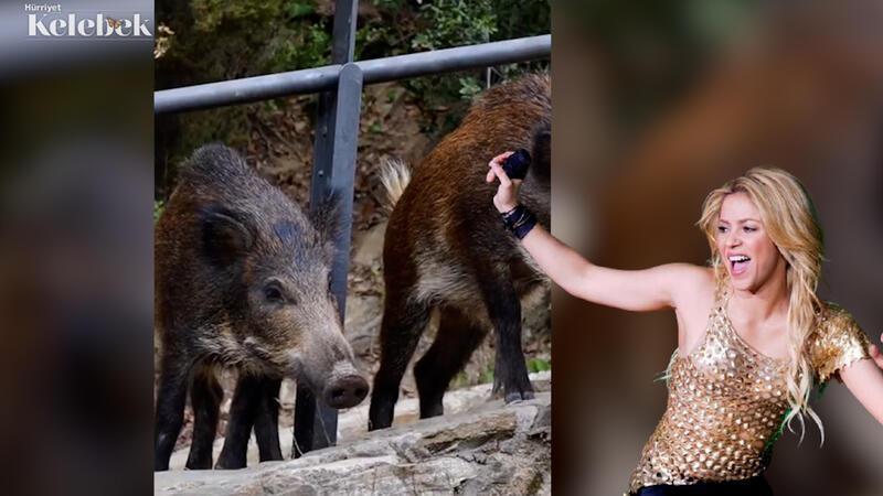 Parkta yaban domuzlarının saldırısına uğradı