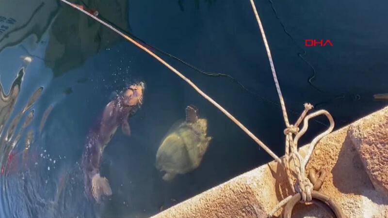 Yavru Akdeniz foku ve caretta caretta yat limanında böyle görüntülendi