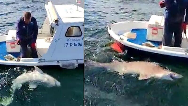 2,5 metre boyunda köpek balığı yakaladı! İşte o anlar
