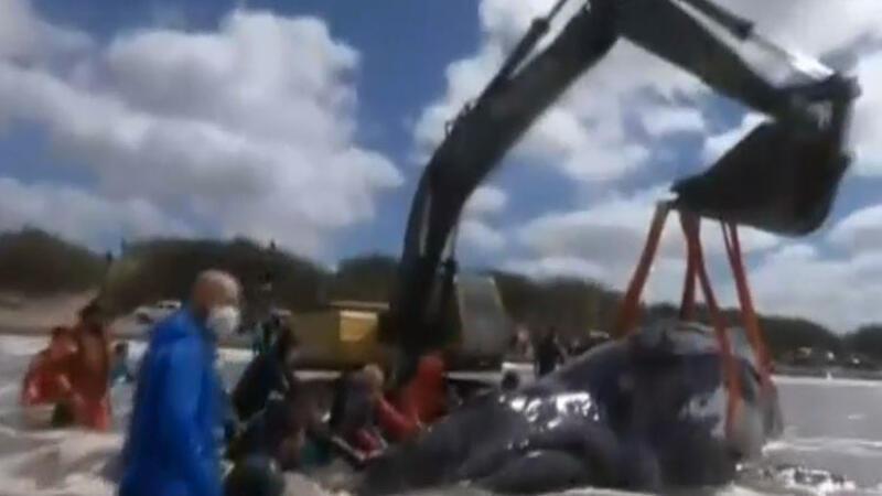 Dev balinayı kurtarma operasyonu