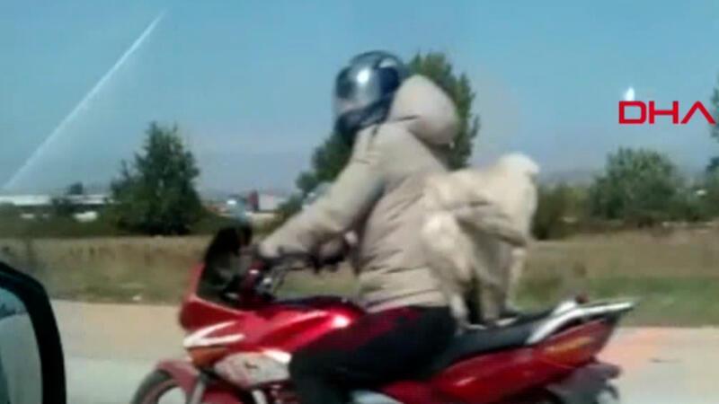 Motosiklet sürücüsünün köpeği ile tehlikeli yolculuğu